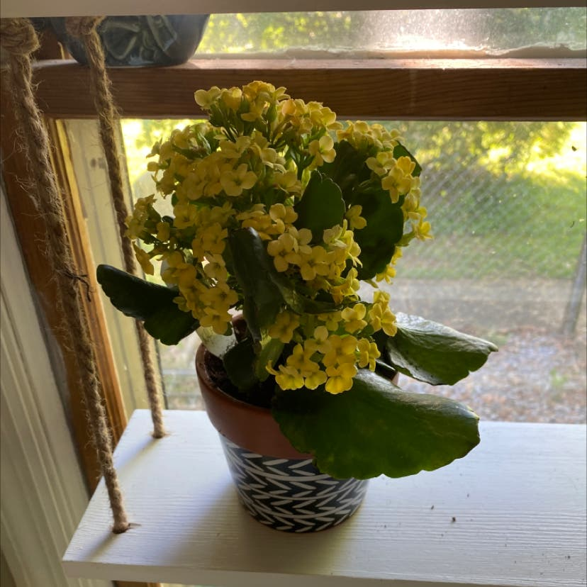 Florist Kalanchoe plant in Wilmore, Kentucky