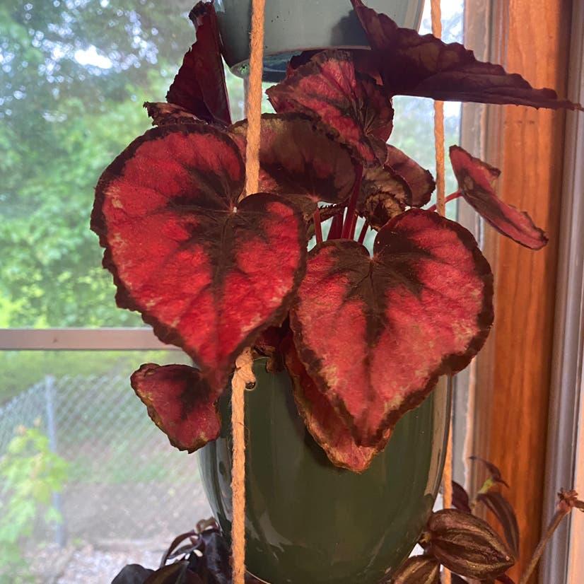 Rex Begonia plant in Wilmore, Kentucky