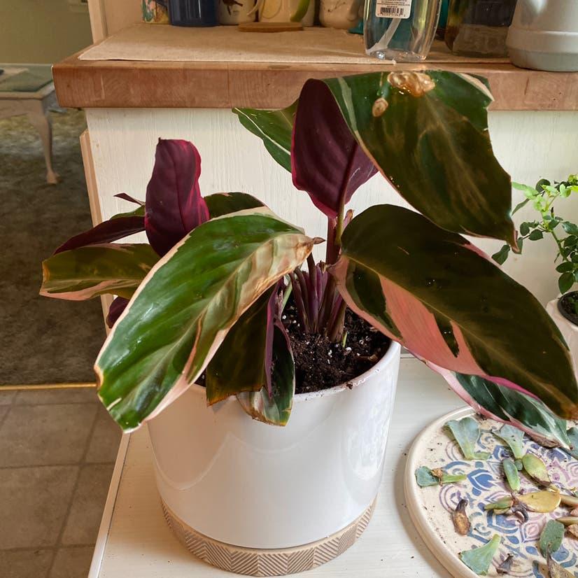 Triostar Stromanthe plant in Wilmore, Kentucky