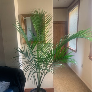 Rating of the plant Majesty Palm named Steve by Kalifornia on Greg, the plant care app