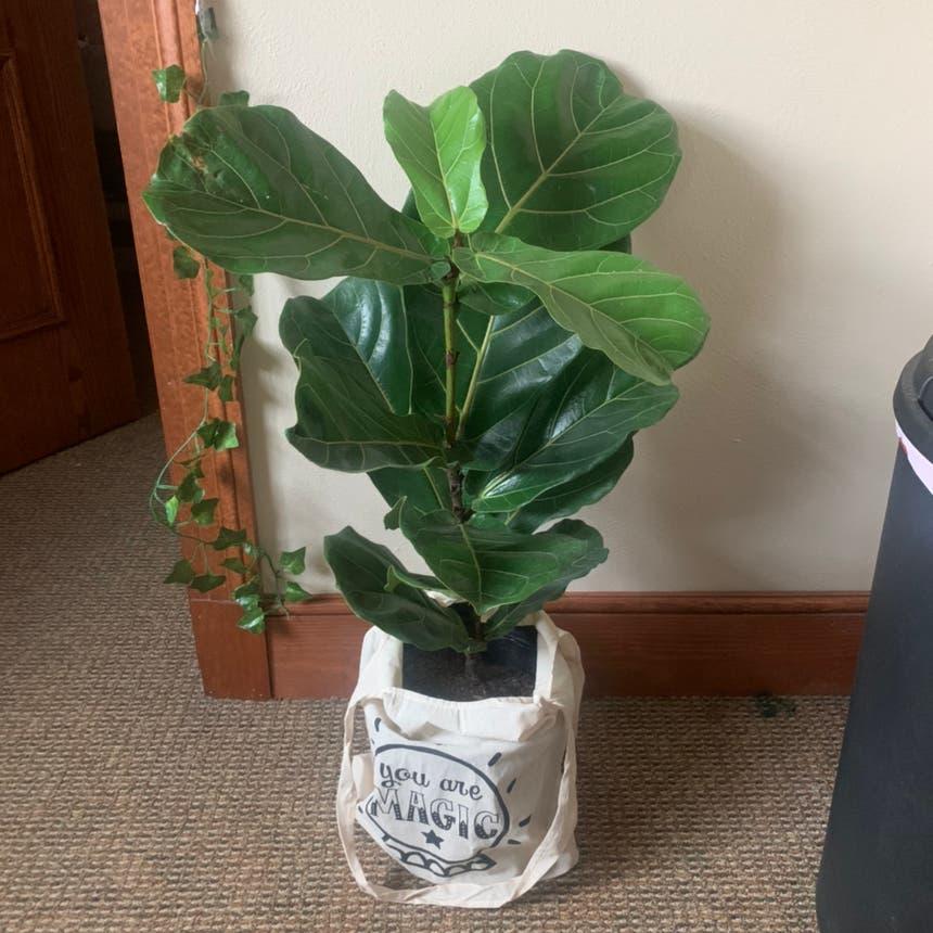 Fiddle Leaf Fig plant in Jefferson City, Missouri