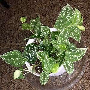 Silver Satin Pothos plant photo by Tortoise named bald on Greg, the plant care app.