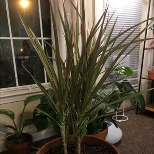 Rating of the plant Dragon tree named drop by Tortoise on Greg, the plant care app