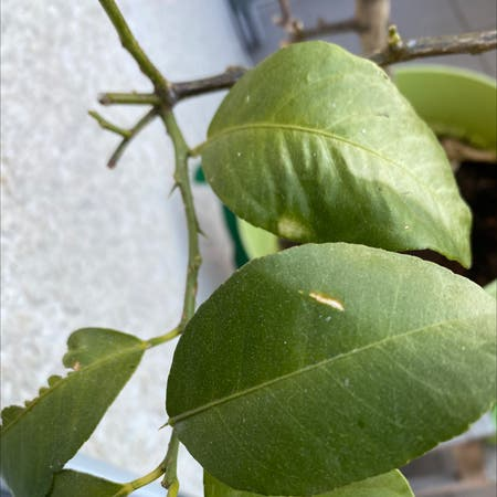 Photo of the plant species Buddha's Hand Citron by Kevin named Citrus on Greg, the plant care app
