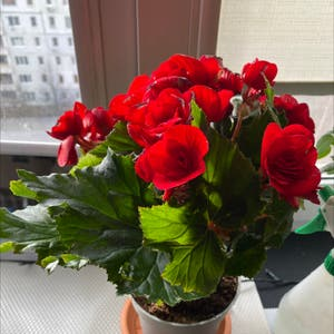 Tuberous Begonia plant photo by Canlose named Beggi on Greg, the plant care app.