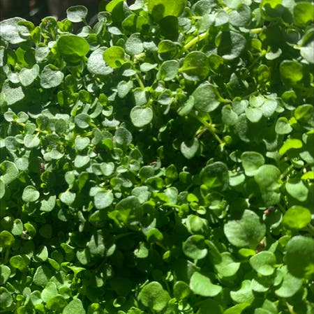 Photo of the plant species Corsican Mint by Lyla named Minty on Greg, the plant care app