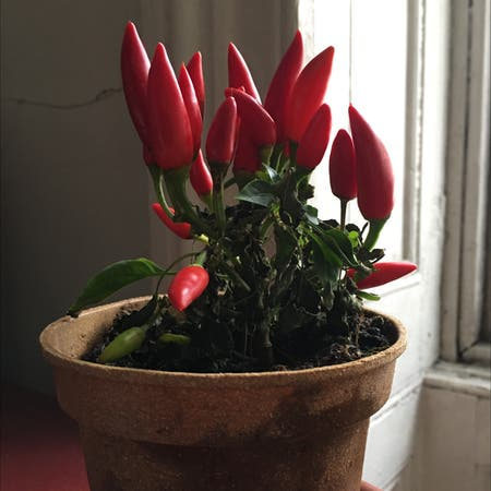 Photo of the plant species Italian Pepperoncini by D named Absalom on Greg, the plant care app