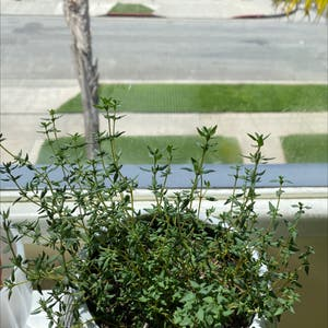 Common Thyme plant photo by Rachel named Ester (4/21 fertilized) on Greg, the plant care app.