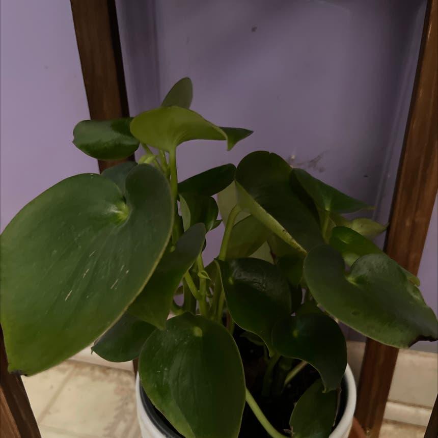 Raindrop Peperomia plant in Morrisville, North Carolina