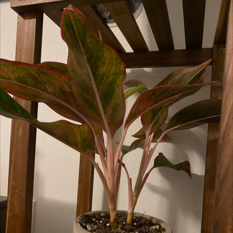 Chinese Evergreen plant in Morrisville, North Carolina