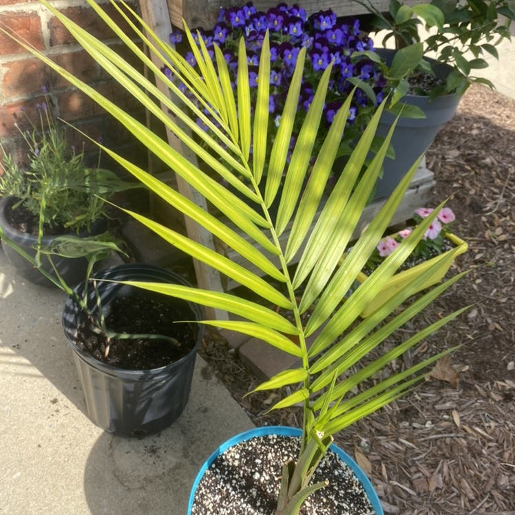 Majesty Palm plant in Morrisville, North Carolina