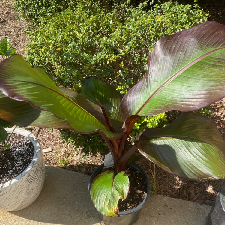 Abyssinian banana plant in Morrisville, North Carolina