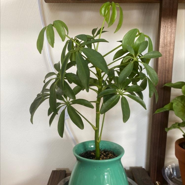 Dwarf Umbrella Tree plant in Morrisville, North Carolina
