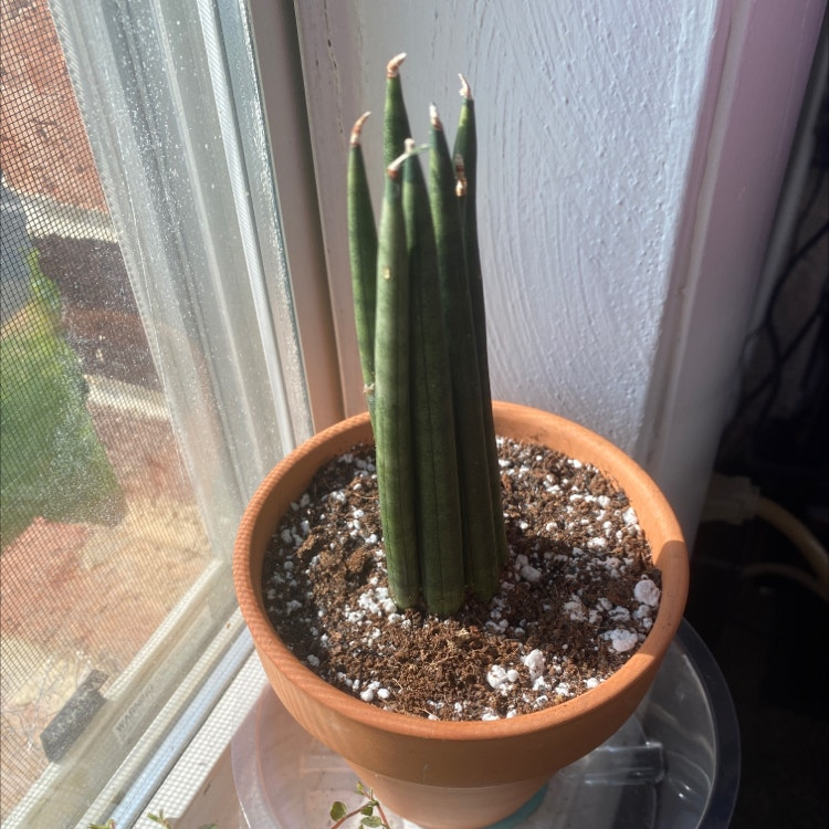 Cylindrical Snake Plant plant in Morrisville, North Carolina