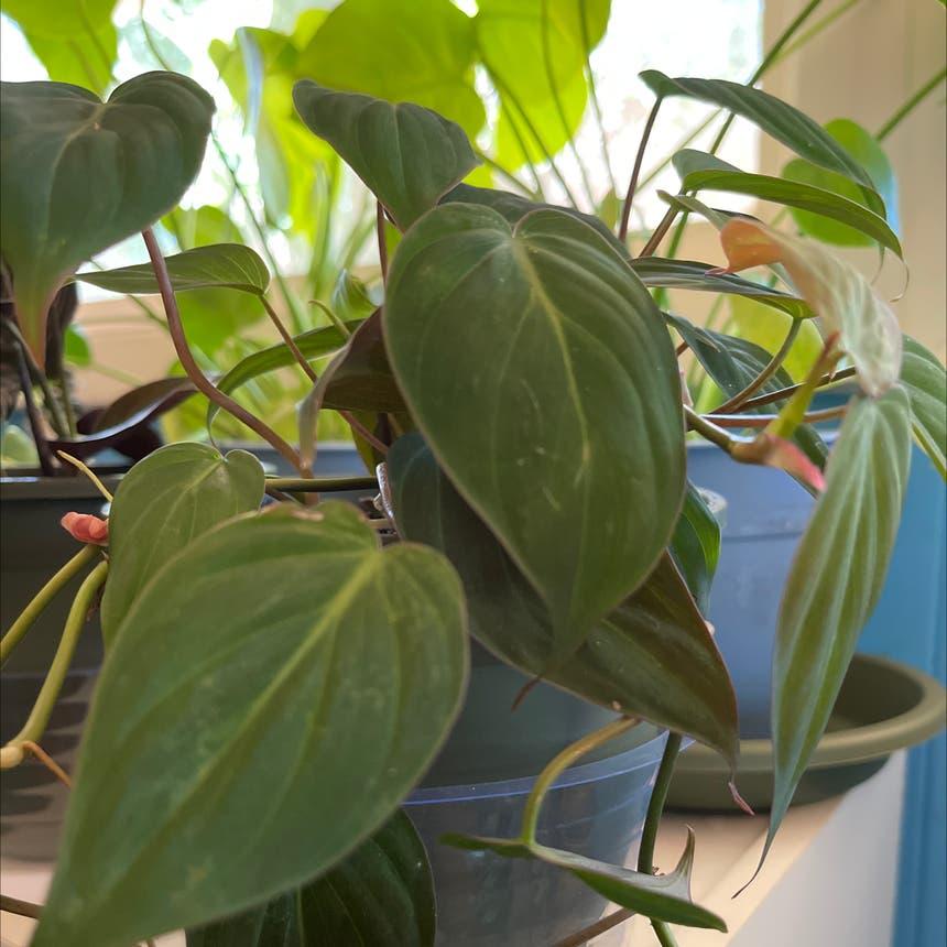 Velvetleaf philodendron plant in Morrisville, North Carolina
