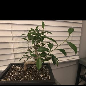 Ficus Ginseng plant photo by Bubbatomsplants named Jackie Chan on Greg, the plant care app.