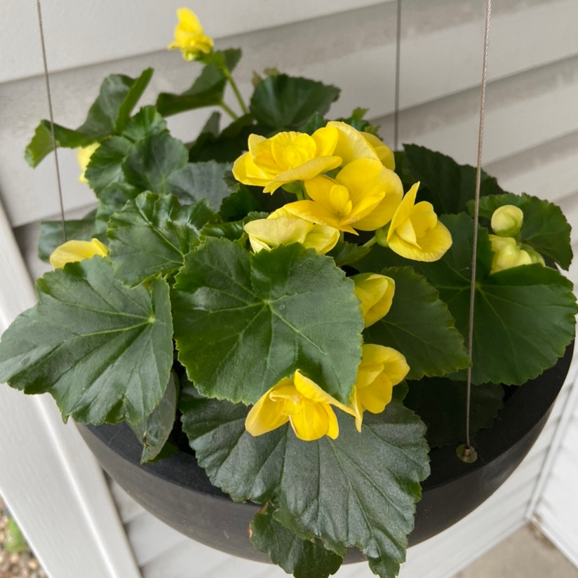 Photo of the plant species Hiemalis Begonia by Elizabeth named Begonias on Greg, the plant care app
