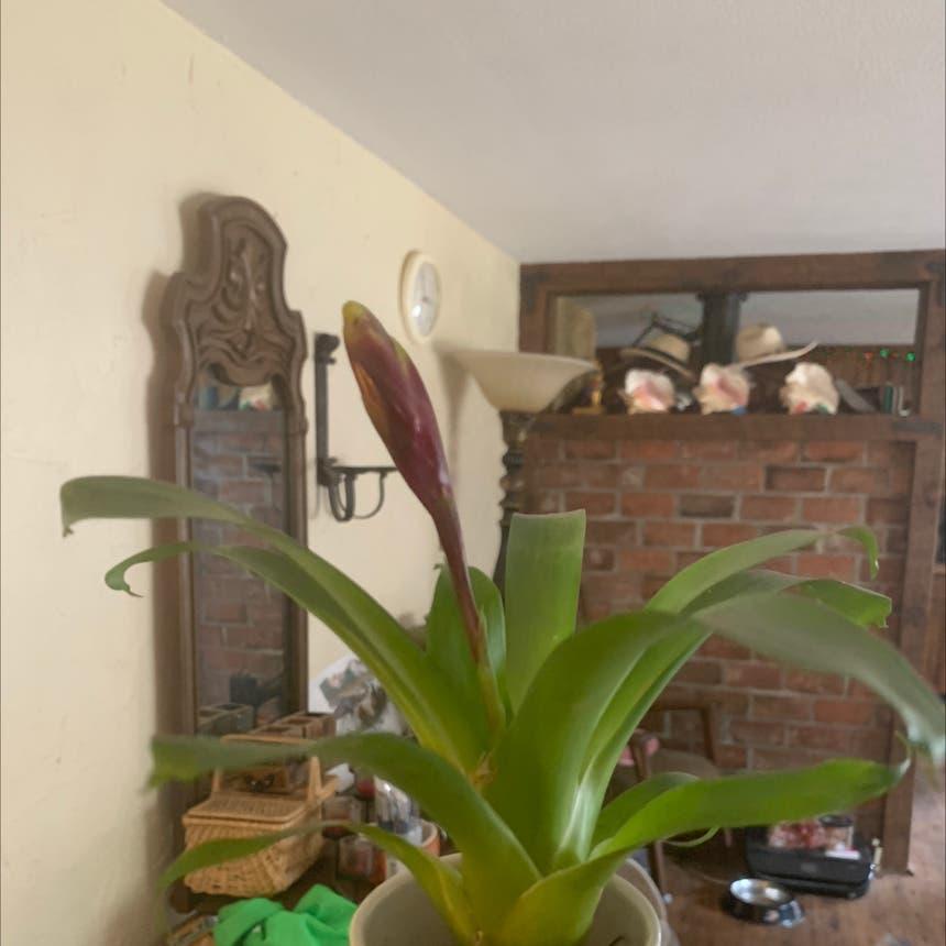 Flaming Sword plant