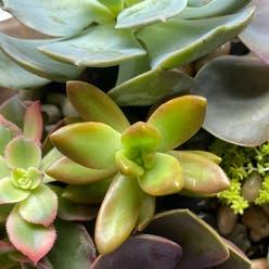 Sedum adolphii 'Golden Glow' plant