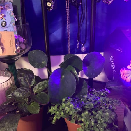 Photo of the plant species Polyscias Scutellaria by Essential_healing named skippy, flippy, and mippy on Greg, the plant care app