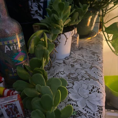 Photo of the plant species Senecio jaconsenii by H3lp._.m3 named Riddler on Greg, the plant care app