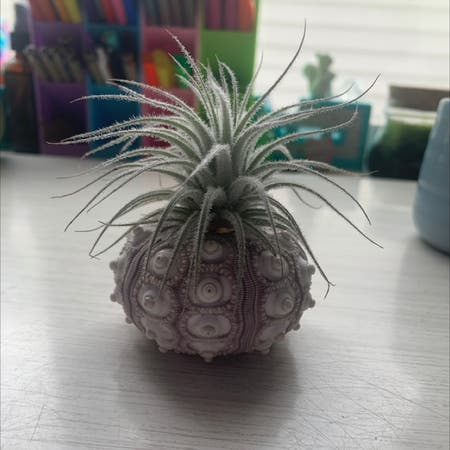 Photo of the plant species Fuzzy Air Plant by Samtheperson named Drewson on Greg, the plant care app