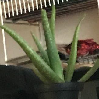 Aloe vera plant in Pittsburgh, Pennsylvania