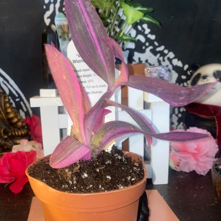 Photo of the plant species Setcreasea pallida 'Purple Heart' by Blacklily96 named fuchsia on Greg, the plant care app