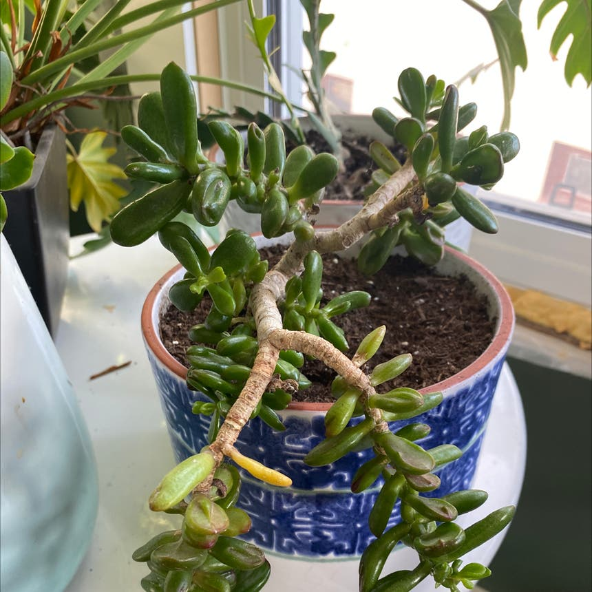 Jade plant in Somewhere on Earth