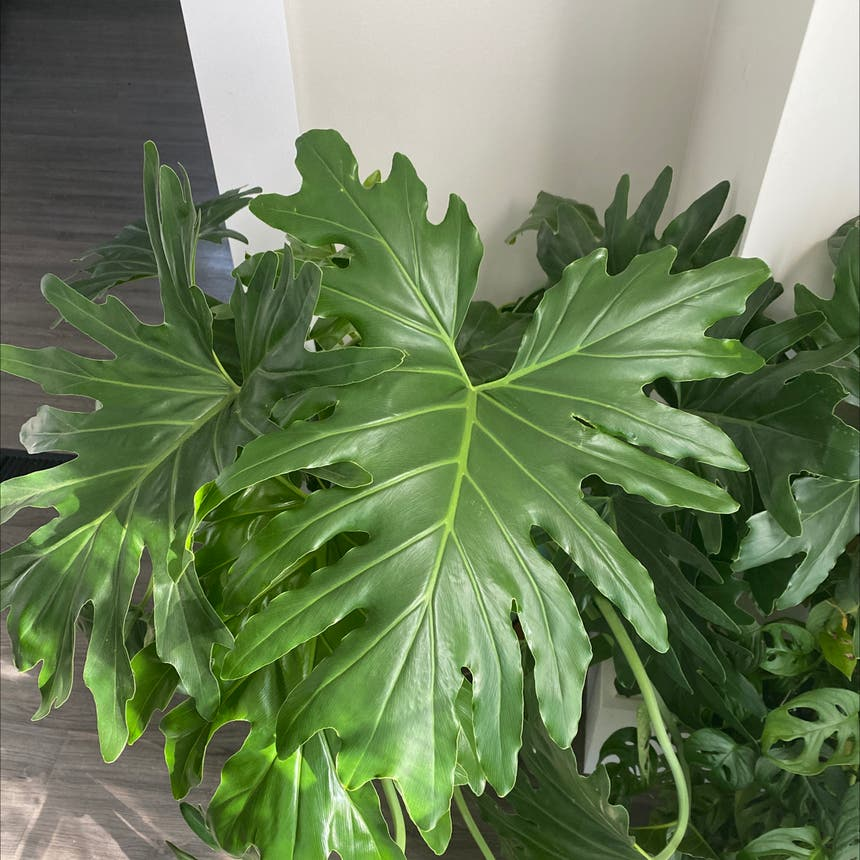 Split Leaf Philodendron plant in Somewhere on Earth