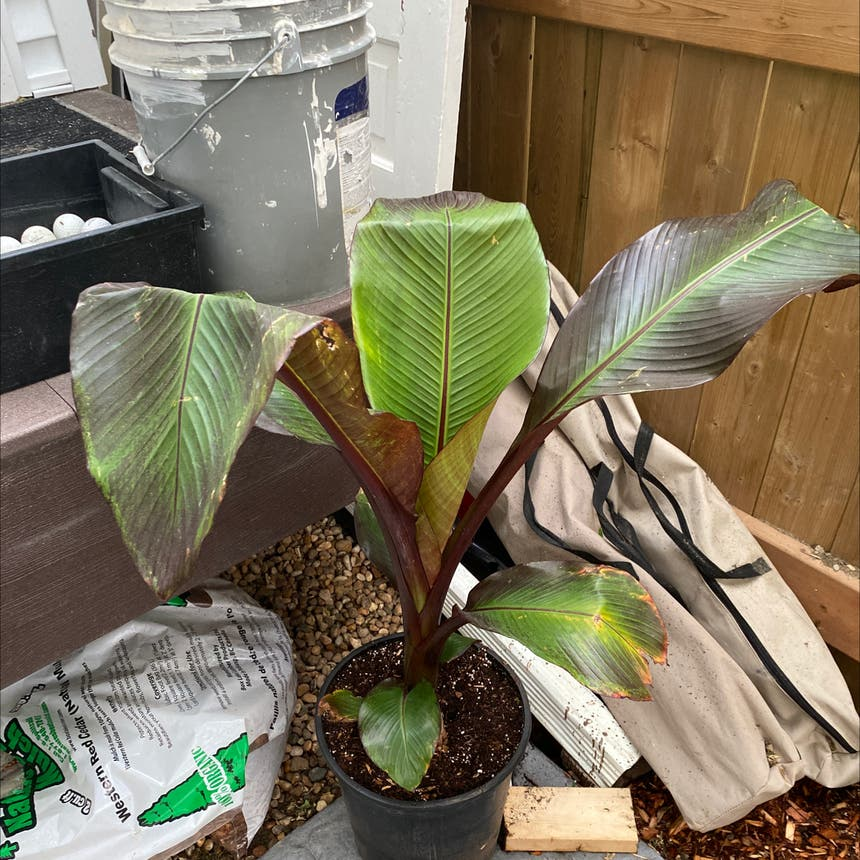 Abyssinian banana plant in Somewhere on Earth