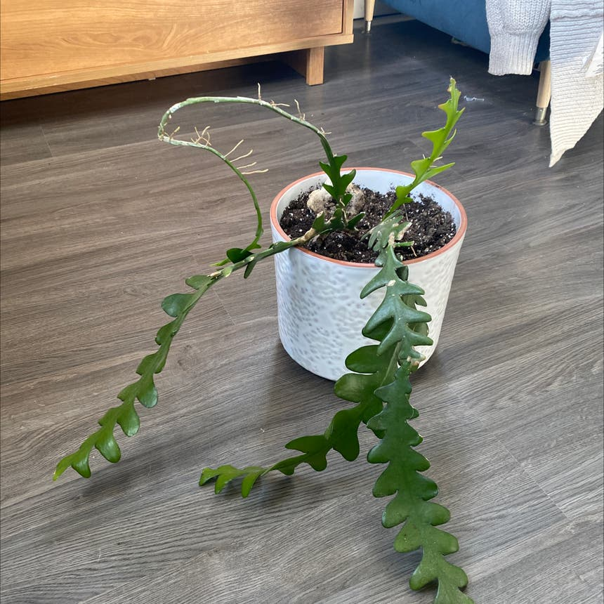 Fishbone Cactus plant in Somewhere on Earth