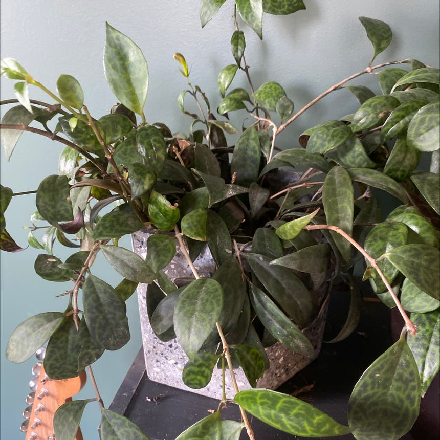 Black Pagoda Lipstick Plant plant in Somewhere on Earth