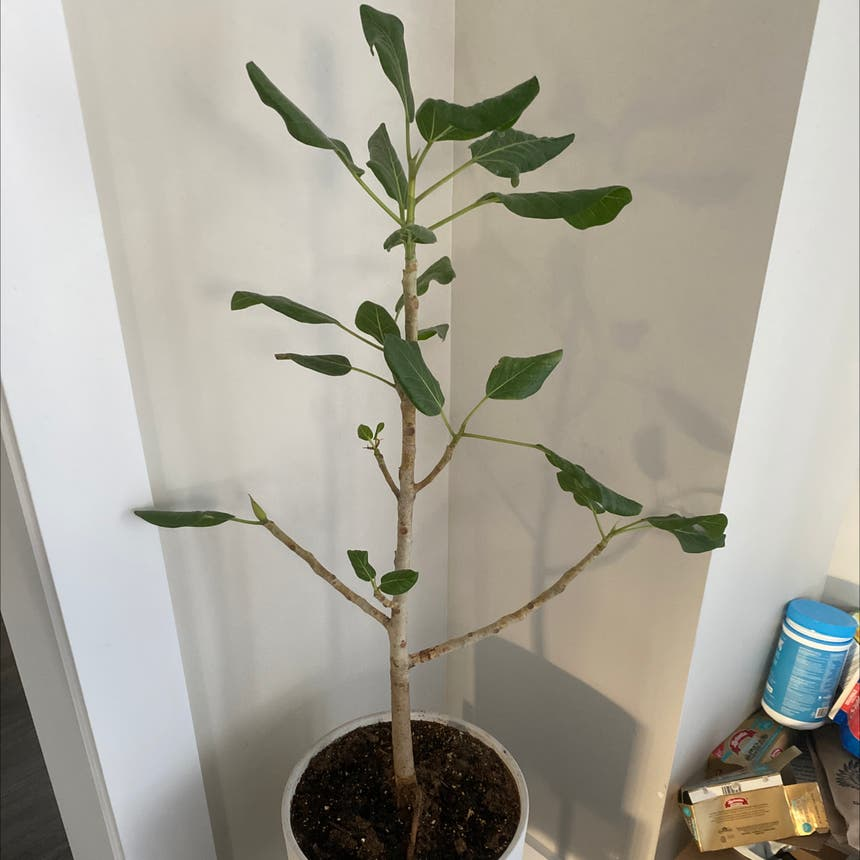 Audrey Ficus plant in Somewhere on Earth