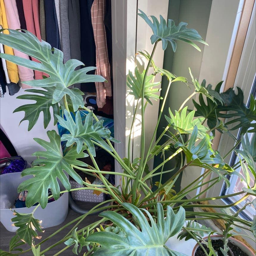 Cut Leaf Philodendron plant in Somewhere on Earth