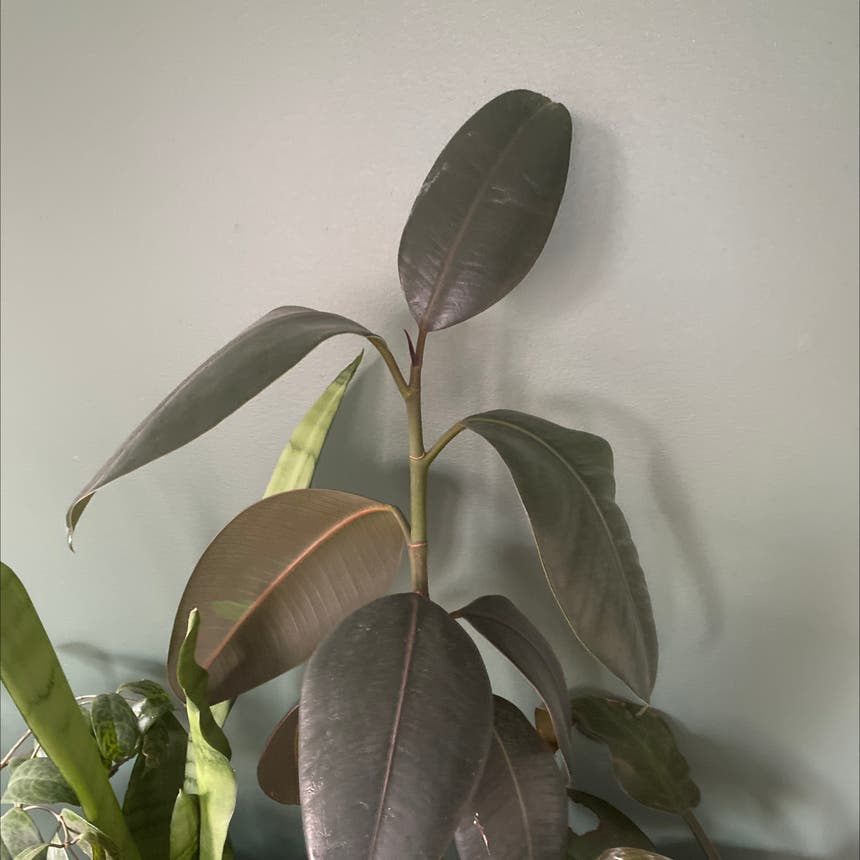 Rubber Plant plant in Somewhere on Earth