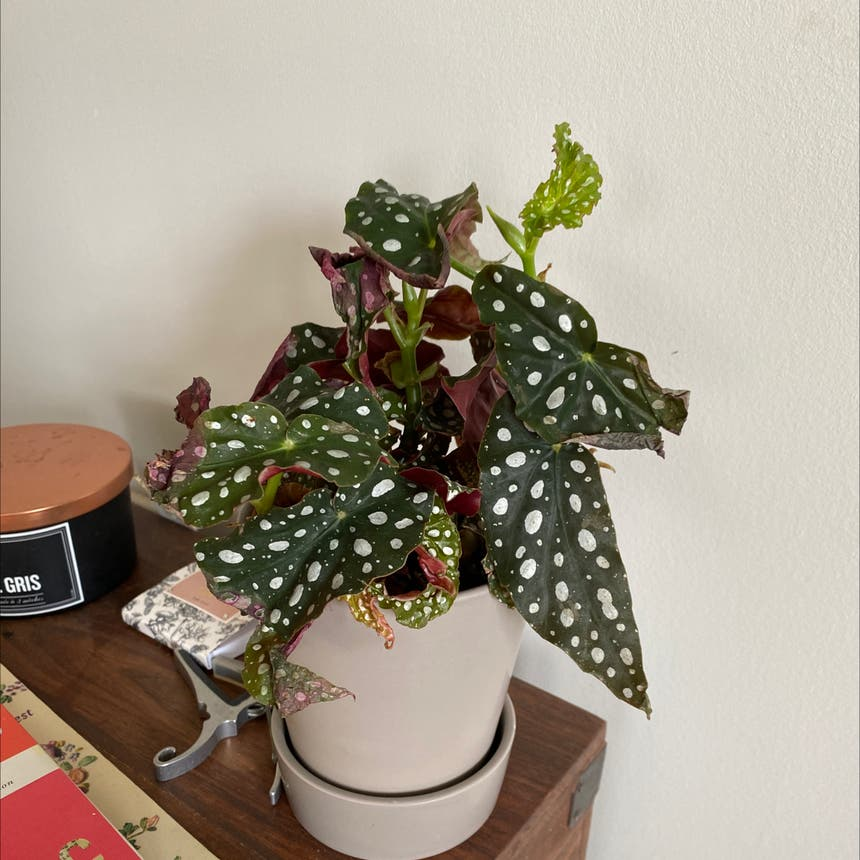 Polka Dot Begonia plant in Somewhere on Earth