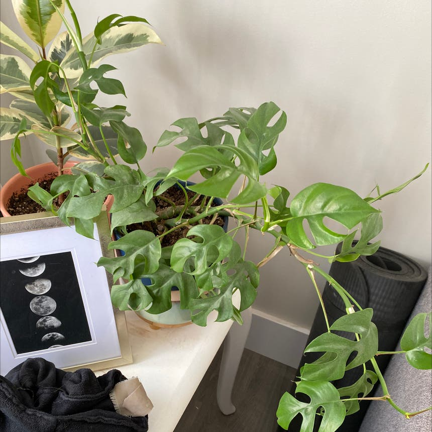 Syngonium 'Mini Allusion' plant in Somewhere on Earth