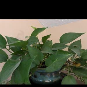 Pothos 'Jade' plant photo by Teresa named Pothos on Greg, the plant care app.