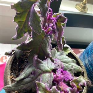 Purple Velvet Plant plant photo by Greg2005 named Aristotle🌸 on Greg, the plant care app.