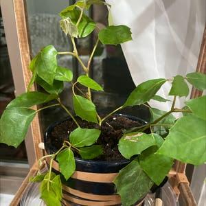 Grape Ivy plant photo by Greg2005 named Svetla on Greg, the plant care app.