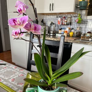 Mini Phalaenopsis Orchid plant photo by Greg2005 named Marilyn on Greg, the plant care app.