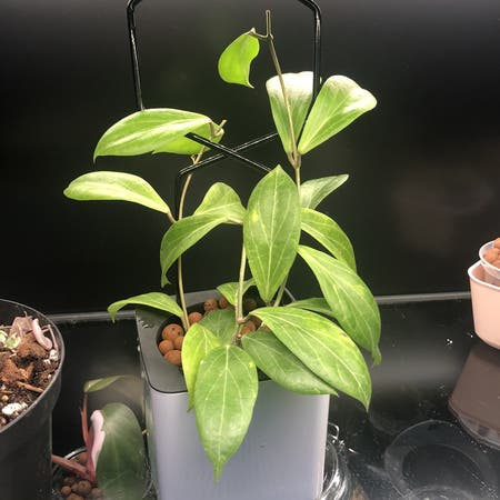 Photo of the plant species Hoya camphorifolia by Neeviez named Camphini on Greg, the plant care app