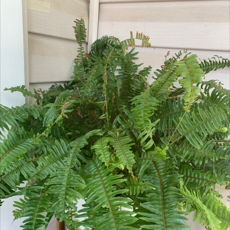 Photo of the plant species Macho Fern by Stevie named Shakespeare on Greg, the plant care app
