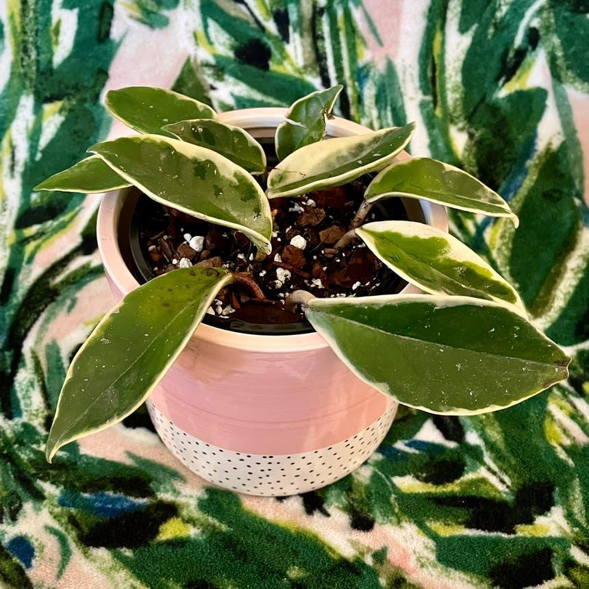 Hoya Carnosa Tricolor plant in Little Rock, Arkansas