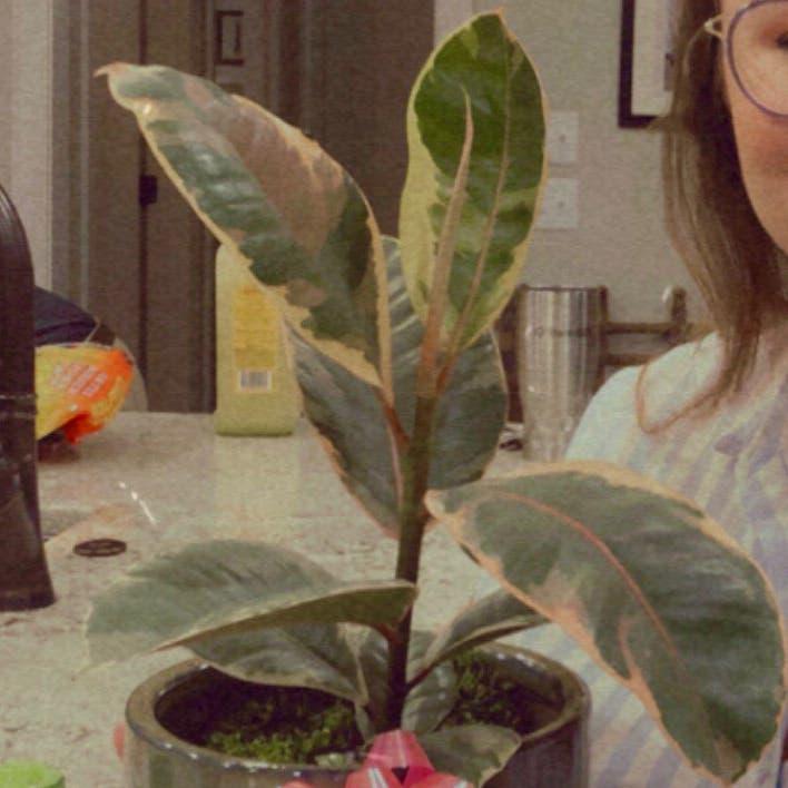 Variegated Rubber Tree plant in Little Rock, Arkansas