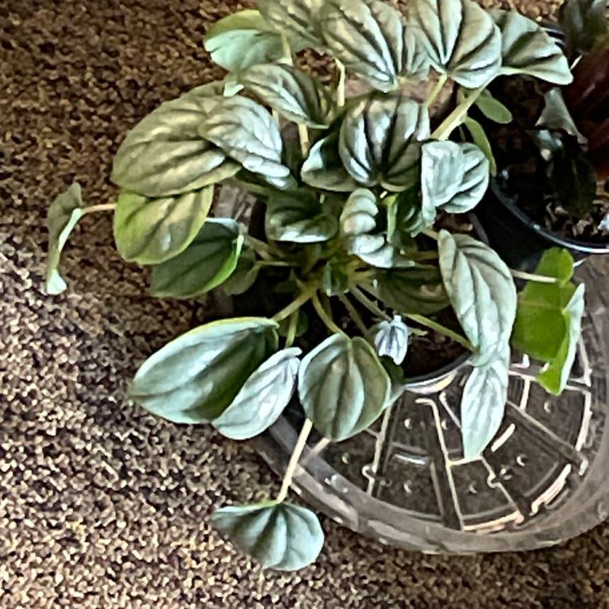 Emerald Ripple Peperomia plant in Little Rock, Arkansas