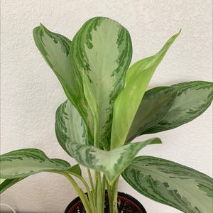 Chinese Evergreen plant photo by Allieklinger named Paint on Greg, the plant care app.