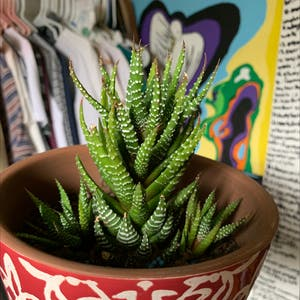 Rating of the plant Haworthia fasciata named Karen & Penny & Sharon by Erynschmeck1 on Greg, the plant care app