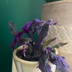 Purple Velvet Plant plant photo by Annakatklein named Rembrant on Greg, the plant care app.